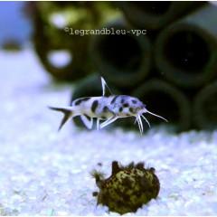 SYNODONTIS polly white