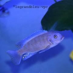 PSEUDOTROPHEUS estherae blue/red