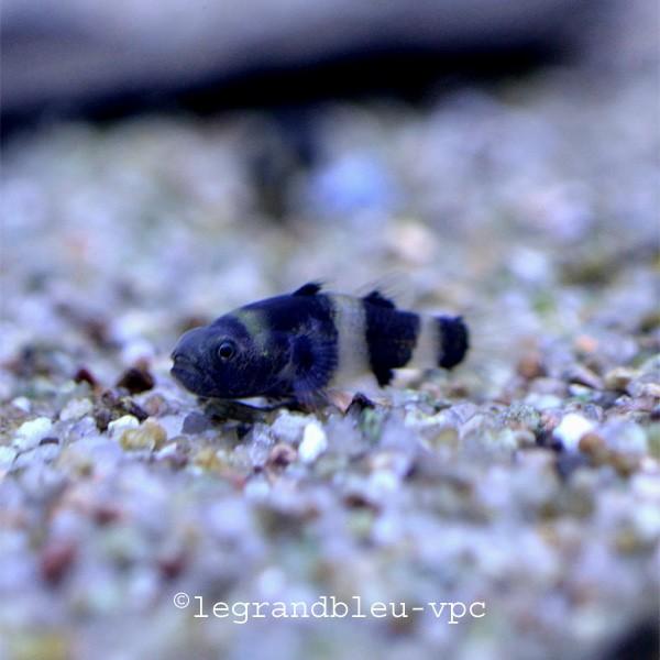 Brachygobius doriae poisson abeille bourdon for Bac communautaire poisson rouge