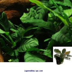 ANUBIAS barteri Coffeefolia - Tropica