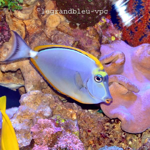 Naso elegans chirurgien aquarium recifal vpc for Poisson vpc