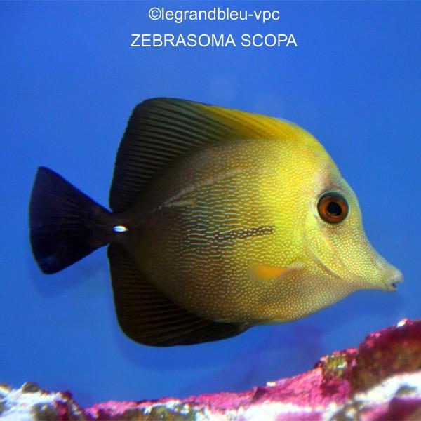 Zebrasoma scopas aquarium recifal vpc for Aquarium vpc