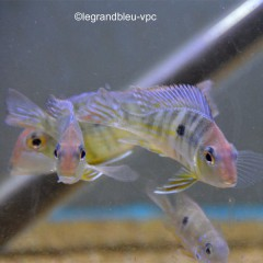 GEOPHAGUS sp Tapajos orange head