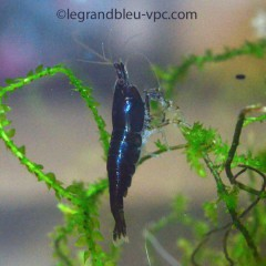 CARIDINA denticulata var. Black Fire lot de 5