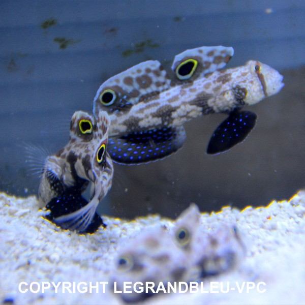 Signigobius biocellatus gobie aquarium vpc for Poisson vpc