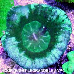 SCOLYMIA australis turquoise et vert