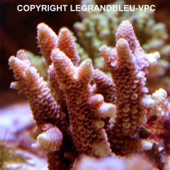 ACROPORA  millepora - Red yellow tips
