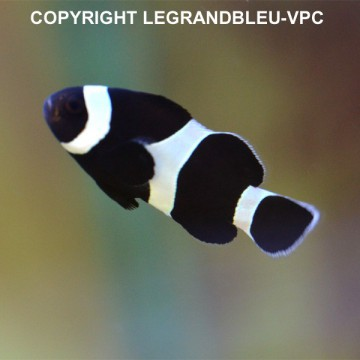 AMPHIPRION ocellaris black