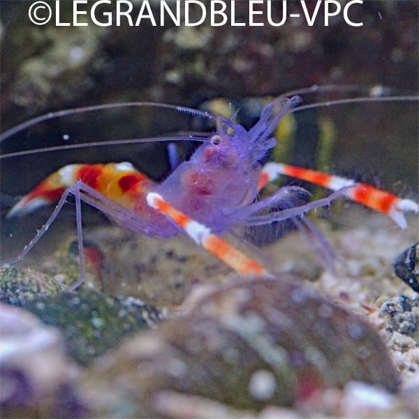 Stenopus tenuirostris crevette corp bleu aquarium for Aquarium vpc
