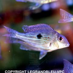 GEOPHAGUS brachybranchus