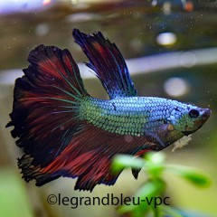 BETTA splendens halfmoon dragon