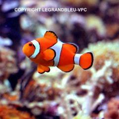 AMPHIPRION ocellaris elevage