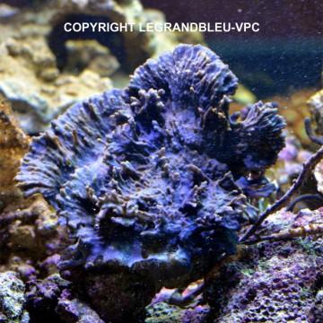 COLLOSPONGIA bleue