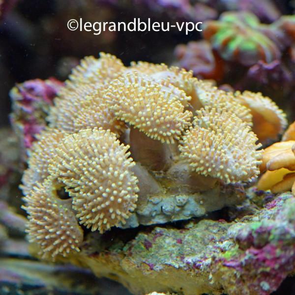 Sarcophyton sp en colonie aquarium recifal vpc for Aquarium vpc