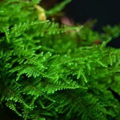 """TAXIPHYLLUM Taïwan Moss """"1-2 Grow"""" Tropica"""