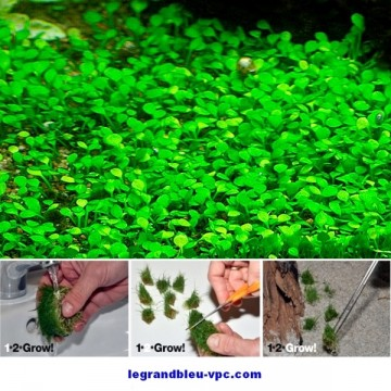 Marsilea crenata Tropica 1-2 Grow