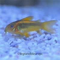 paracyprichromis-blue-neon_1.jpg