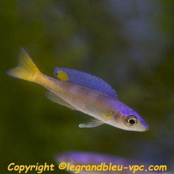 cyprichromis-leptosoma-mpulungu_003.jpeg