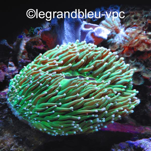 heliofungia-vert.jpg