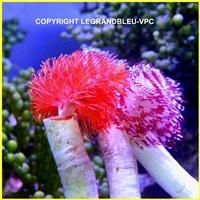 coriocella-nigra_2.jpg