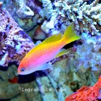 pseudanthias-bimaculatus-femelle_2.jpg