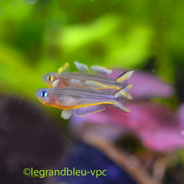 neolamprologus-leleupi-longior-bulu-poin