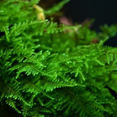taxiphyllum-taiwan-moss-1-2-grow-tropica