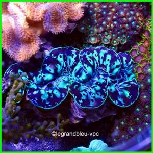 tridacna-maxima-bleu-xl  p1.jpg