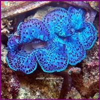 tridacna-maxima-bleu-xl_4.jpg